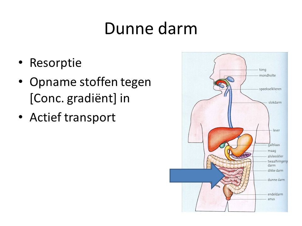 Dunne darm Resorptie Opname stoffen tegen [Conc. gradiënt] in